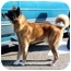 Photo 4 - Akita Dog for adoption in East Amherst, New York - Easy