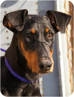 Doberman Pinscher Dog for adoption in Westport, Connecticut - *Alice - PENDING