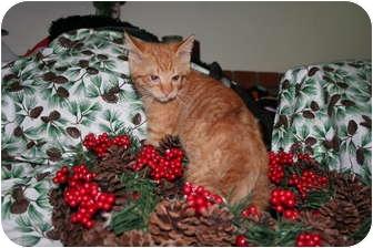 Domestic Shorthair Kitten for adoption in Santa Rosa, California - Echo