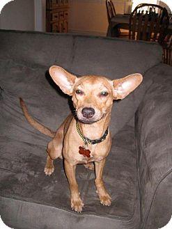 Miniature Pinscher/Terrier (Unknown Type, Medium) Mix Dog for adoption in Madison, New Jersey - Foxy