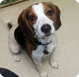 Beagle Dog for adoption in Portland, Oregon - Daisy