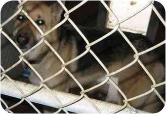 German Shepherd Dog Dog for adoption in Tracy, California - Sam-EUTHANIZED