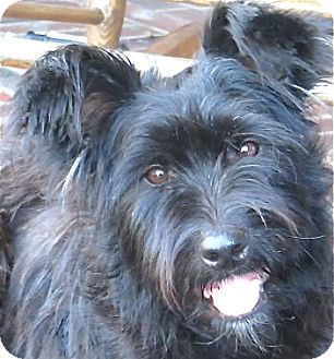 Terrier (Unknown Type, Medium)/Scottie, Scottish Terrier Mix Dog for adoption in Norwalk, Connecticut - Daisy