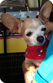 Chihuahua Mix Dog for adoption in San Diego, California - Lilly