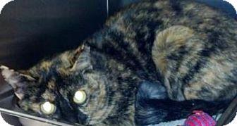 Domestic Shorthair Cat for adoption in Columbus, Georgia - Honey 4527