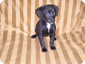 "Shih Tzu Mix Puppy for adoption in New Castle, Pennsylvania - "" Giana """
