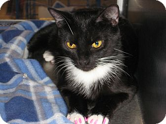 Domestic Shorthair Cat for adoption in Pinehurst, North Carolina - Halo