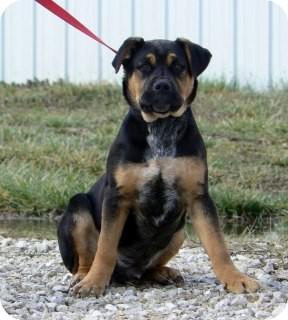 Airedale Terrier Mix Puppy for adoption in St. James, Missouri - Sammy