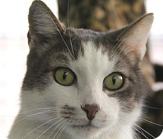 Domestic Shorthair Cat for adoption in Van Nuys, California - Falco