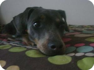 Miniature Pinscher/Dachshund Mix Dog for adoption in Las Vegas, Nevada - Peanut