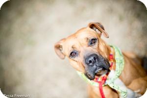Boxer Dog for adoption in Muldrow, Oklahoma - Lady