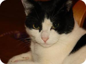 Domestic Shorthair Kitten for adoption in Redondo Beach, California - Tonya