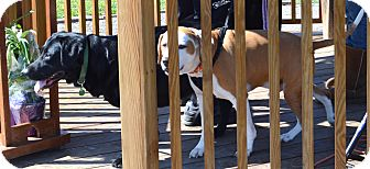 "Treeing Walker Coonhound Dog for adoption in Minerva, Ohio - Beau""I've Been Adopted"""