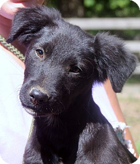 Golden Retriever/Labrador Retriever Mix Dog for adoption in Chicago, Illinois - Jackson