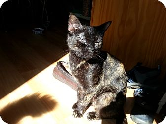 Domestic Shorthair Cat for adoption in Portland, Maine - Kayla