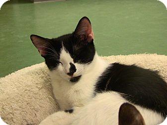 Domestic Shorthair Kitten for adoption in Pittsburgh, Pennsylvania - Murphee