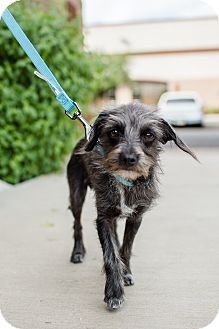 Cairn Terrier Mix Puppy for adoption in Phoenix, Arizona - ToTo