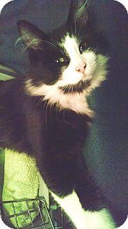Domestic Longhair Kitten for adoption in Toledo, Ohio - Winston