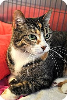 Domestic Shorthair Cat for adoption in Fort Leavenworth, Kansas - Darcy