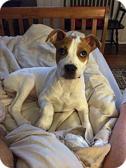 Labrador Retriever/American Bulldog Mix Puppy for adoption in Philadelphia, Pennsylvania - Della