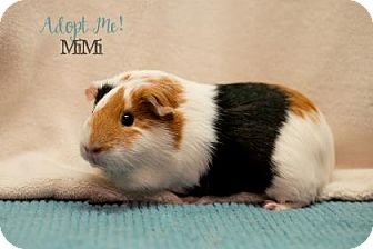 Guinea Pig for adoption in West Des Moines, Iowa - Mimi