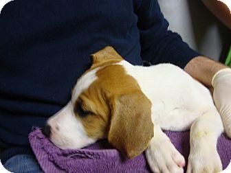 Hound (Unknown Type) Mix Puppy for adoption in Philadelphia, Pennsylvania - Mackenzie