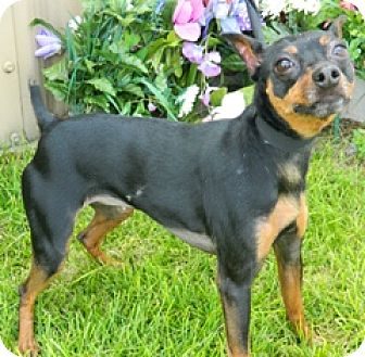 Miniature Pinscher Mix Dog for adoption in Columbus, Nebraska - Lili