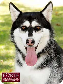 Siberian Husky Dog for adoption in Marina del Rey, California - Kira