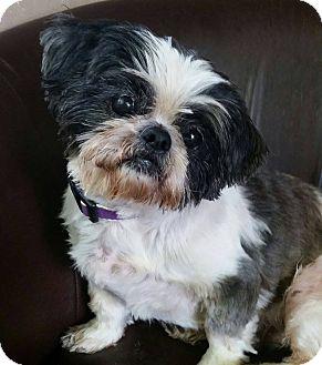 Shih Tzu Mix Dog for adoption in Urbana, Ohio - Howie