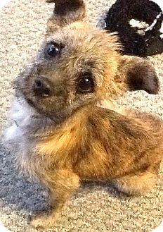 Cairn Terrier/Norfolk Terrier Mix Puppy for adoption in Boulder, Colorado - Ivy-ADOPTION PENDING