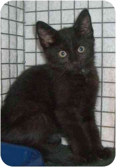 Domestic Shorthair Kitten for adoption in Randolph, New Jersey - Sidney and Susan