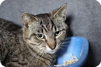Domestic Shorthair Cat for adoption in Midland, Michigan - Bence - STRAY