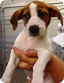 Hound (Unknown Type) Mix Puppy for adoption in Kalamazoo, Michigan - Queso