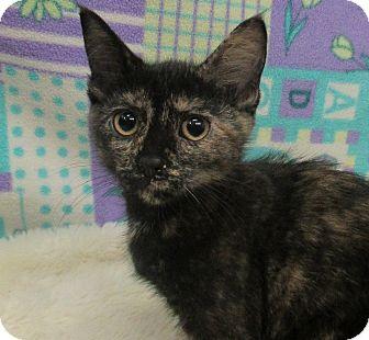 Domestic Shorthair Kitten for adoption in Lloydminster, Alberta - Cameow