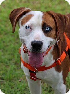 Hound (Unknown Type) Mix Dog for adoption in Pinehurst, North Carolina - Randy