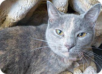 Domestic Shorthair Cat for adoption in Ocean Springs, Mississippi - Bamba