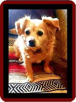 Pomeranian/Papillon Mix Dog for adoption in Murrieta, California - Amber Lynn