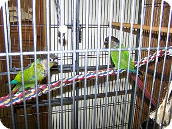 Conure for adoption in DeLand, Florida - Seymour & Ali