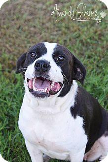 Labrador Retriever/American Staffordshire Terrier Mix Dog for adoption in Pilot Point, Texas - TARA