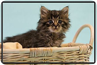 Domestic Longhair Kitten for adoption in Washburn, Wisconsin - Rocky Mountain