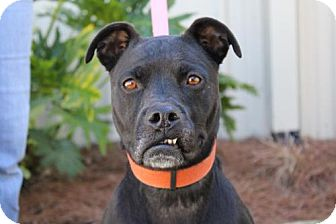 Boxer Mix Dog for adoption in Brunswick, Georgia - Paisley