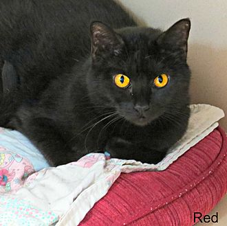 Domestic Shorthair Cat for adoption in tama, Iowa - Red
