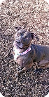 Labrador Retriever/American Pit Bull Terrier Mix Dog for adoption in South Park, Pennsylvania - Selina