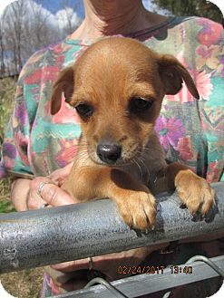 Chihuahua/Dachshund Mix Puppy for adoption in Lincolndale, New York - CORKY