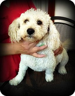 Poodle (Toy or Tea Cup)/Maltese Mix Dog for adoption in Tijeras, New Mexico - Maisie