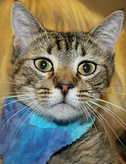 Domestic Shorthair Cat for adoption in Clayton, New Jersey - WEST