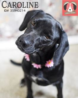 Retriever (Unknown Type) Mix Dog for adoption in Gulfport, Mississippi - Caroline