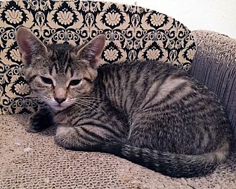 American Shorthair Cat for adoption in Toms River, New Jersey - Everly