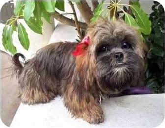 Lhasa Apso Dog for adoption in Los Angeles, California - GODIVA
