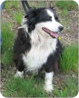 Border Collie Dog for adoption in Kellogg, Idaho - Maggie